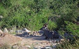 Greter Kudu nel parco nazionale di Kruger Fotografia Stock Libera da Diritti