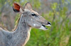 Maggior Kudu (strepsiceros del Tragelaphus) Immagine Stock