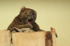 Maggior lemur di bambù Fotografie Stock