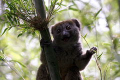 Maggior Lemur di bambù (simus di Hapalemur) Immagini Stock