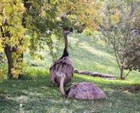 Maggior Rhea Rhea americana è un uccello non-volatore fotografia stock libera da diritti