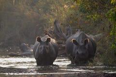 Maggior rinoceronte Un-cornuto in Bardia, Nepal Immagini Stock
