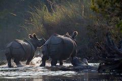 Maggior rinoceronte Un-cornuto in Bardia, Nepal Immagine Stock Libera da Diritti