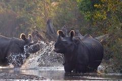 Maggior rinoceronte Un-cornuto in Bardia, Nepal Fotografia Stock Libera da Diritti