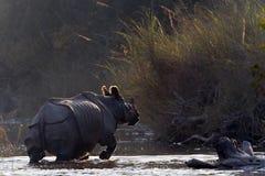 Maggior rinoceronte Un-cornuto in Bardia, Nepal Fotografie Stock Libere da Diritti