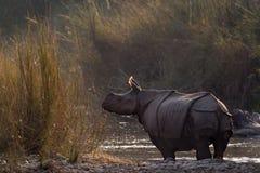 Maggior rinoceronte Un-cornuto in Bardia, Nepal Immagini Stock Libere da Diritti