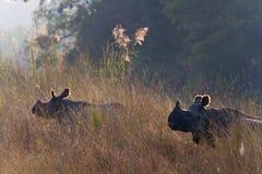 Maggior rinoceronte Un-cornuto in Bardia, Nepal Immagine Stock
