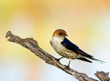 Maggior swallow a strisce Fotografie Stock Libere da Diritti