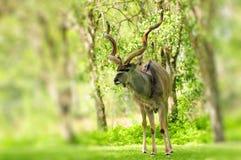 Maggior toro di Kudu fotografia stock libera da diritti