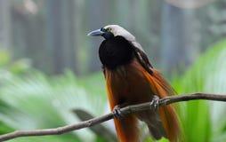 Maggior Uccello-de-paradiso Fotografie Stock Libere da Diritti