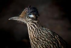 Maggior uccello del Roadrunner Fotografie Stock