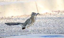 Maggior uccello del Roadrunner con la lucertola in becco, Tucson Arizona, U.S.A. Fotografia Stock
