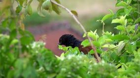 Maggior uccello di Coucal o Centropus Sinensis del fagiano di corvo che si siede sul ramo di albero archivi video
