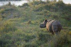 Maggior un rinoceronte cornuto Fotografie Stock Libere da Diritti
