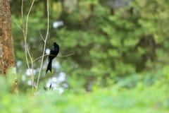 Maggiori uccelli Racchetta-muniti di Drongo sull'albero nel giardino Immagini Stock