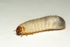 Maggot of chafer. On white background Royalty Free Stock Images