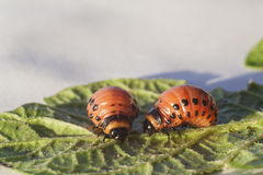 Maggot Colorado beetle. On leaf of potato royalty free stock image
