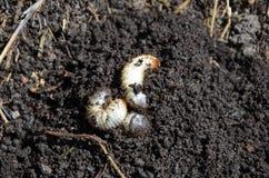 Maggots Stock Image