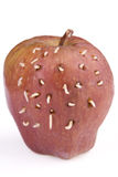 Maggots on apple. Lot of maggots came out from rotten apple when I make holes on it Stock Image