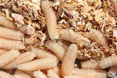 Maggots of fly. Bait for fishing Royalty Free Stock Photography