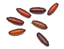 Maggots i pupaetapp Fotografering för Bildbyråer