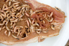 Maggots on pork chop Royalty Free Stock Image