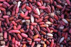 Maggots and pupa. Royalty Free Stock Photo