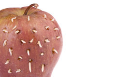Maggots on rotten apple. When I made holes on rotten apple, maggots come out from it Stock Photography