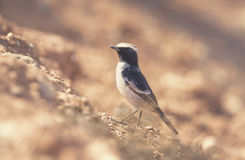 Maghreb Wheatear (Oenanthe lugens halophila) Royalty Free Stock Photography