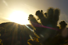magi för kaktuschollatimme Arkivbild