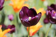 Magia czarny tulipan fotografia stock