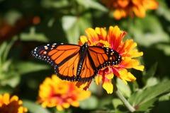 Magia del monarca immagini stock libere da diritti