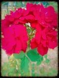 Magia en una flor Fotografía de archivo libre de regalías