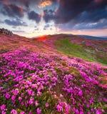 Magia różowy różanecznik kwitnie w górach wschód słońca mgłowy krajobrazowy lato światła słonecznego wschód słońca Obraz Stock