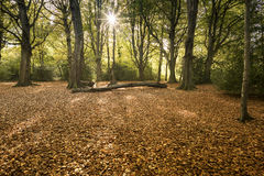 The Magic of Autumn. Alverstone, Isle of Wight, England - November 11, 2016 Atumnal Beech trees in the morning sun Royalty Free Stock Photos