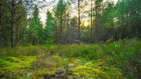 Magic autumn forest with fly agaric, time-lapse with crane. Magic autumn forest with fly agaric, time lapse with crane stock video footage