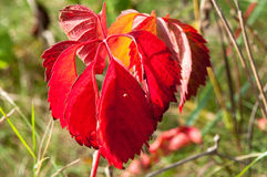 Magic autumn forest plants with red, yellow bushes Stock Image