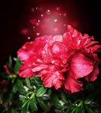 Magic azalea flower on a festive background bokeh hearts Royalty Free Stock Image