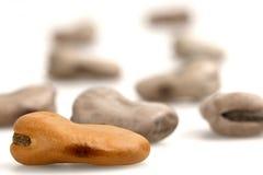 Magic Bean. Close up of a broad bean royalty free stock photos
