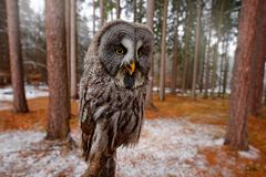 Magic bird Great Gray Owl, Strix nebulosa, hidden behind tree trunk with spruce tree forest in backgrond, wide angle lens photo. Funny bird image in the dark stock photo