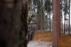 Magic bird Great Gray Owl, Strix nebulosa, hidden of tree trunk with spruce tree forest in backgrond, wide angle lens photo. Sweden Stock Image