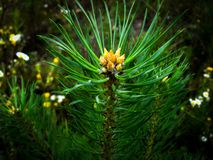 A Magic Branch Coniferous Trees With Young Buds And A Blurry Background. The Beauty Of Nature In Detail stock photography