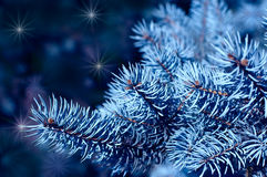 Magic branches of blue spruces Royalty Free Stock Images