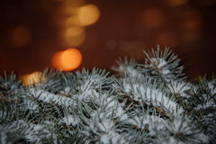 Magic branches of blue spruces Stock Photo