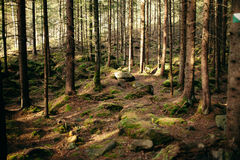 Magic Carpathian forest at dawn filled with the gentle rays of the sun Stock Photography