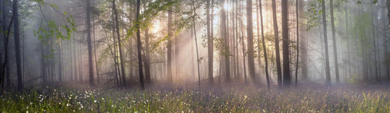 Magic Carpathian forest at dawn Royalty Free Stock Photography