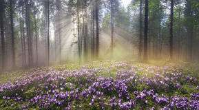 Magic Carpathian forest at dawn Stock Photos