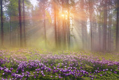 Magic Carpathian forest at dawn. Filled with the gentle rays of the sun in a misty morning haze. Alpine miracle available to anyone who at the dawn Take a walk Royalty Free Stock Image