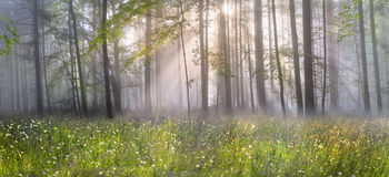 Magic Carpathian forest at dawn Stock Photos