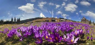 Magic carpet spring crocuses Royalty Free Stock Photo